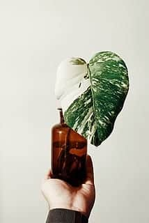 monstera variegata stickling