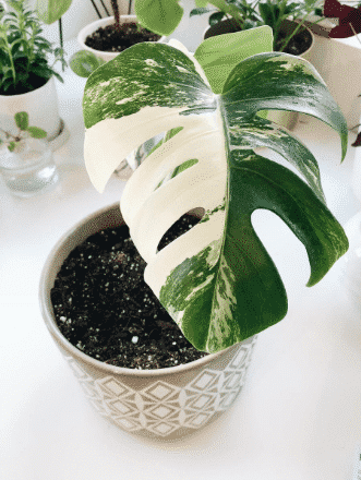 monstera variegata i kruka
