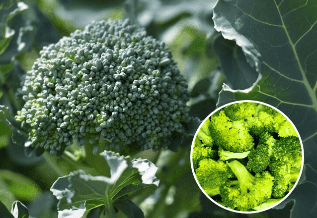 odla broccoli banner