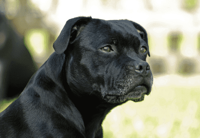 Staffordshire bullterrier – nanny dog: Guide
