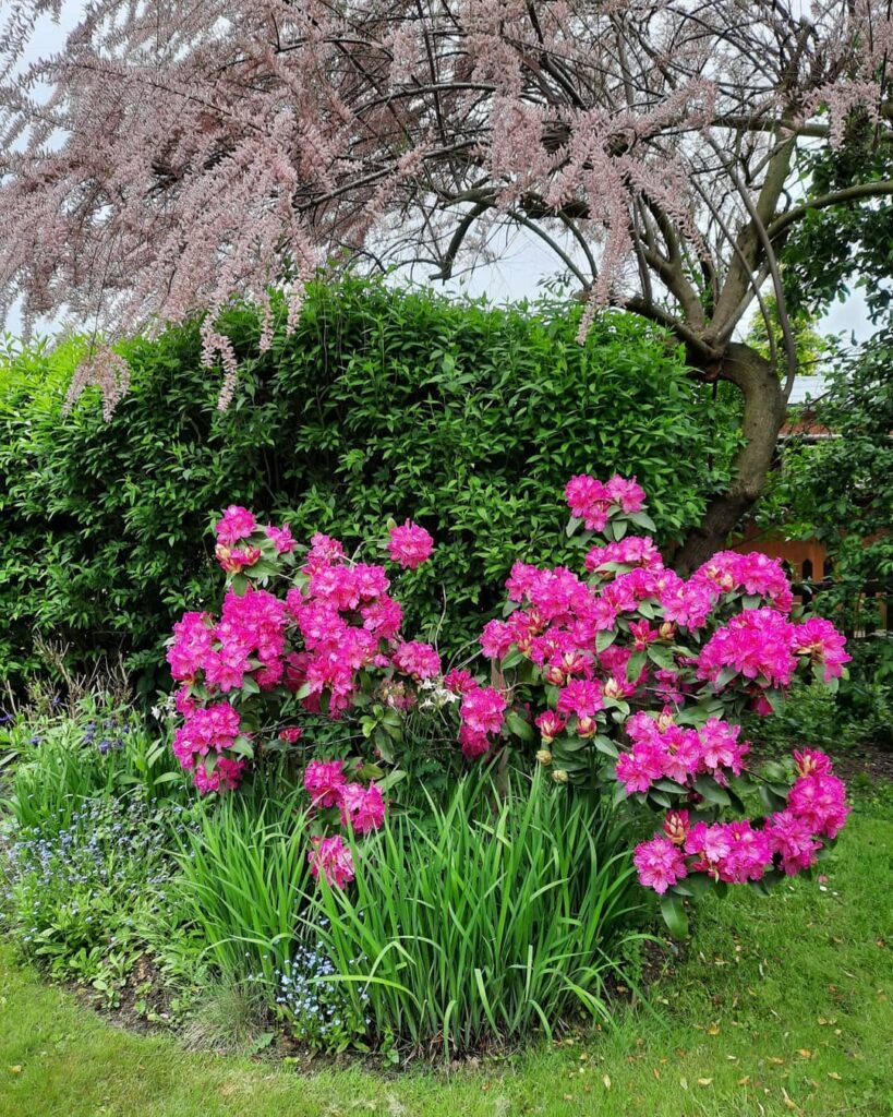 mindre rhododendron